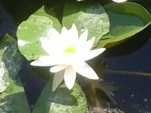lotus_blanc